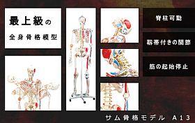 全身骨格模型